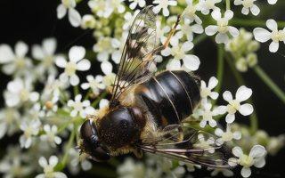 Syrphidae · žiedmusės 1975