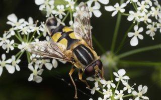 Helophilus trivittatus · žiedmusė