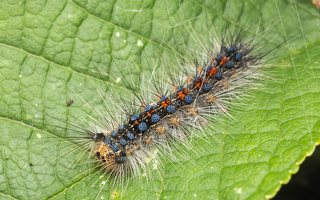Lymantria dispar caterpillar · neporinis verpikas, vikšras 1984