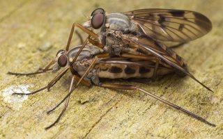 Rhagionidae · slankmusės 2011
