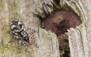 Salticus cingulatus female · baltašonis šokliavoris ♀ 2015