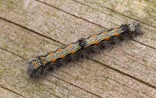 Lithosia quadra caterpillar · keturtaškė kerpytė, vikšras 2023