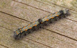 Lithosia quadra caterpillar · keturtaškė kerpytė, vikšras 2024