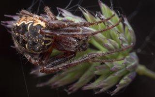 Araneidae · kryžiuočiai 2031