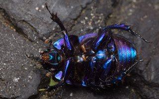 Anoplotrupes stercorosus · miškinis mėšlavabalis 2037