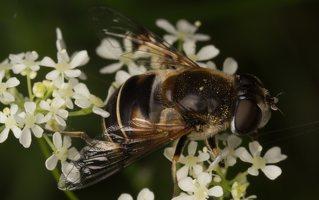 Syrphidae · žiedmusės 2042