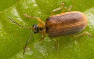 Galerucella lineola · guobinis aksominukas 2064