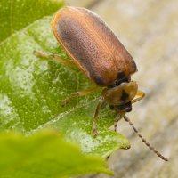 Galerucella lineola · guobinis aksominukas 2065