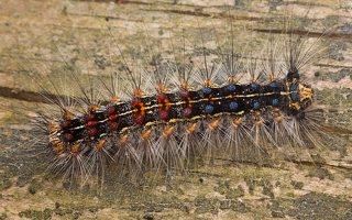 Lymantria dispar caterpillar · neporinis verpikas, vikšras 2078