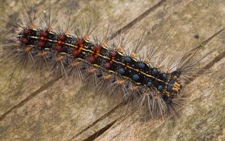 Lymantria dispar caterpillar · neporinis verpikas, vikšras 2080