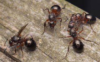 Formicidae · skruzdėlės 2082