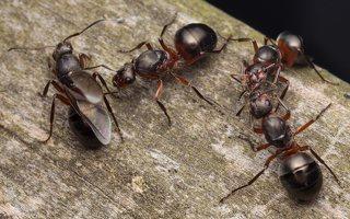 Formicidae · skruzdėlės 2083