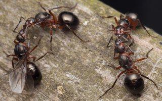 Formicidae · skruzdėlės 2084