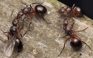 Formicidae · skruzdėlės 2085