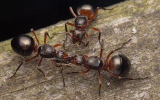 Formicidae · skruzdėlės 2086
