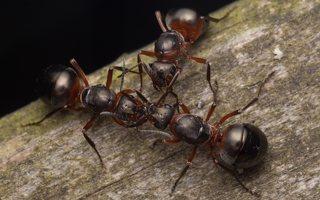 Formicidae · skruzdėlės 2087