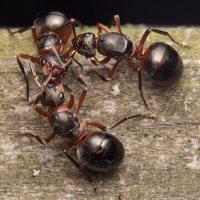 Formicidae · skruzdėlės 2088