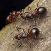 Formicidae · skruzdėlės 2089
