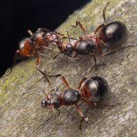 Formicidae · skruzdėlės 2090
