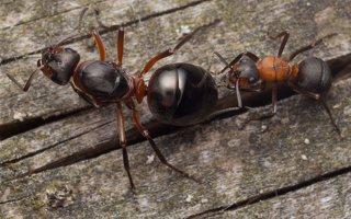 Formicidae · skruzdėlės 2091