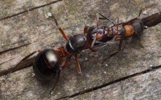 Formicidae · skruzdėlės 2092