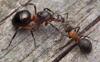 Formicidae · skruzdėlės 2093