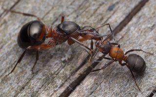Formicidae · skruzdėlės 2094