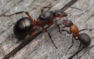 Formicidae · skruzdėlės 2095