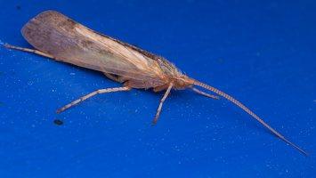 Limnephilus flavicornis · apsiuva 2139
