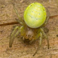 Araniella cucurbitina · raudondėmis voriukas 2157