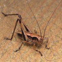 Pholidoptera griseoaptera nymph · keršasis žiogas, nimfa 2168