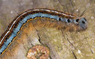 Malacosoma neustria caterpillar · žieduotasis verpikas, vikšras 2171