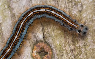 Malacosoma neustria caterpillar · žieduotasis verpikas, vikšras 2172