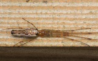 Tetragnathidae · storažandžiai 2180