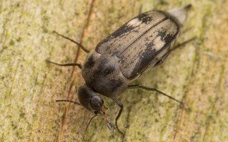 Tomoxia bucephala · dvidėmis dygliavabalis 2181