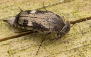 Tomoxia bucephala · dvidėmis dygliavabalis 2182