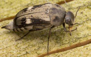 Tomoxia bucephala · dvidėmis dygliavabalis 2183