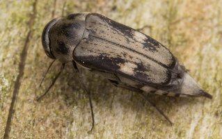 Tomoxia bucephala · dvidėmis dygliavabalis 2185