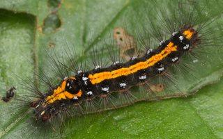 Euproctis similis caterpillar · geltonuodegis verpikas, vikšras 2192