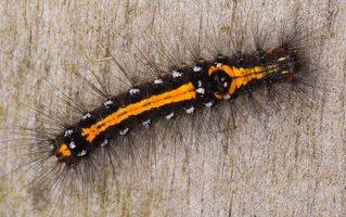 Euproctis similis caterpillar · geltonuodegis verpikas, vikšras 2194
