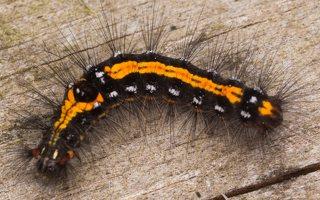 Euproctis similis caterpillar · geltonuodegis verpikas, vikšras 2195