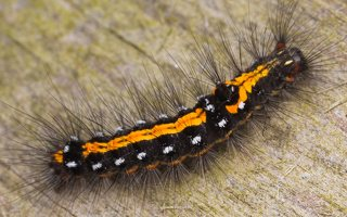 Euproctis similis caterpillar · geltonuodegis verpikas, vikšras 2196