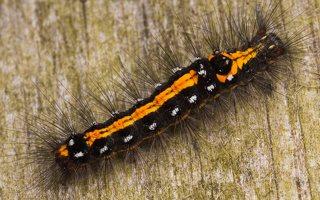 Euproctis similis caterpillar · geltonuodegis verpikas, vikšras 2197