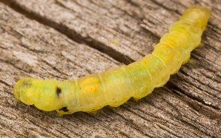 Lepidoptera caterpillar · drugys, vikšras 2198