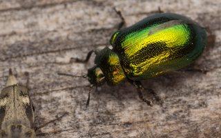 Plagiosterna aenea · žaliasis girinukas 2206