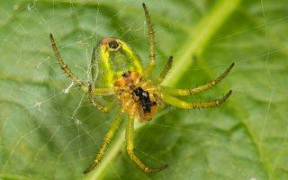 Araniella cucurbitina · raudondėmis voriukas 2212