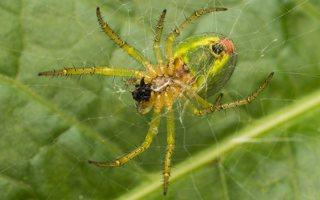 Araniella cucurbitina · raudondėmis voriukas 2213