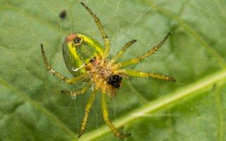 Araniella cucurbitina · raudondėmis voriukas 2214