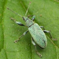 Curculionidae · straubliukas 2216