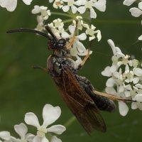 Hymenoptera · plėviasparnis 2220